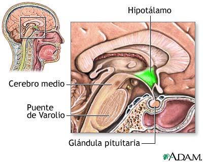 hipotalamo.jpg