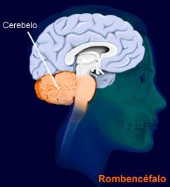 cerebellum.jpg