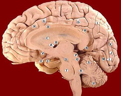 El giro cingulado: anatomía de la inteligencia – \